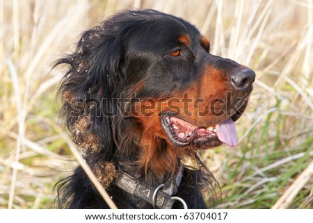 Head of Setter dog - stock photo