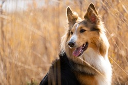 Head of Sheltie Border Collie dog in brown reeds looking around to the left.