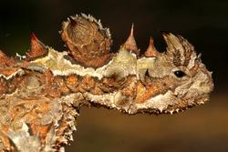 Head of the Australian Thorny Devil, Moloch horridus, an ant-eating lizard, closeup in its natural habitat in Western Australia