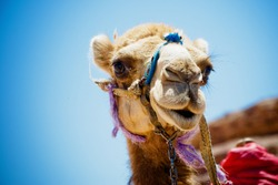 Head of the camel with open mouse and eyes