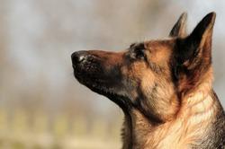 Head of the german shepherd dog