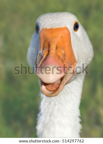 Head of the goose close up a cheerful muzzle