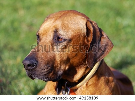 Rhodesian Ridgeback Puppies on Head Of The Rhodesian Ridgeback   Dog Breed Stock Photo 49158109