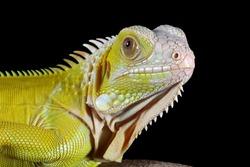 Head of the yellow albino iguana closeup,  Albinoi iguana closeup, animal closeup, Albino iguana image on black background