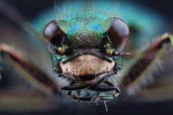 Head of tiger beetle (Cicindella campestris). Macro