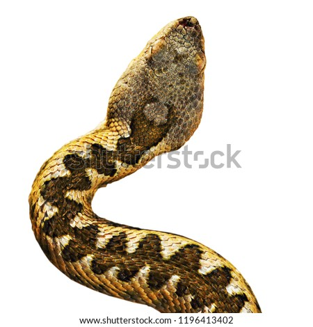 Stock Photo head of Vipera ammodytes isolated over white background, the european nose horned viper; the venom glands are very large