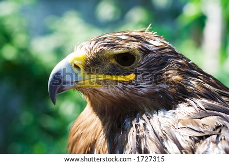 Head of wet eagle