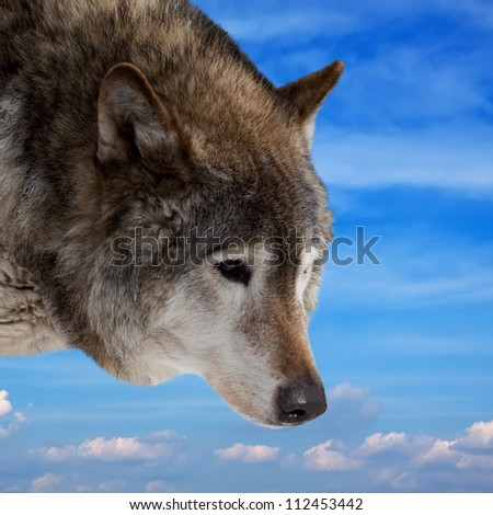 Head of wolf  against cloudy sky background