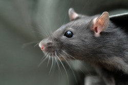 Head of young common rat