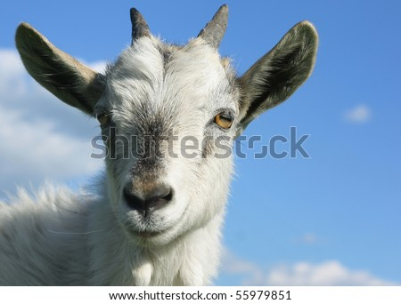 Head of young smiling goat over blue sky background - stock photo