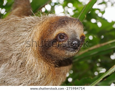 Head of young three-toed sloth looking at camera in the jungle of Costa Rica, wild animal, Central America