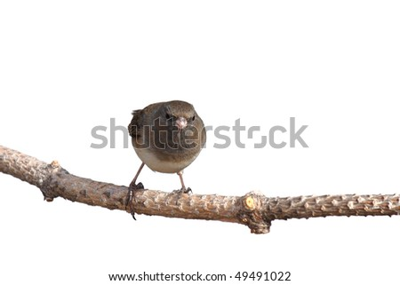 head on image of junco balanced on a branch; white background