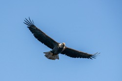 Head on perspective of Bald Eagle in Flight flying towards the camera with a slim streamlined profile.