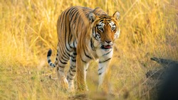 head on portrait of beautiful Choti Tara in Andhar Tadoba Tiger Reserve