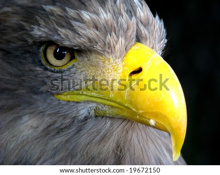 Head  portrait of a eagle