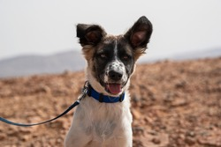 head portrait of a five month old Canaan Dog puppy posed in the Makhtesh Ramon crater in Israel with the desert background blurred