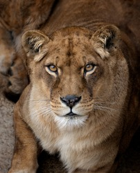 Head portrait of a lioness looking at the camera