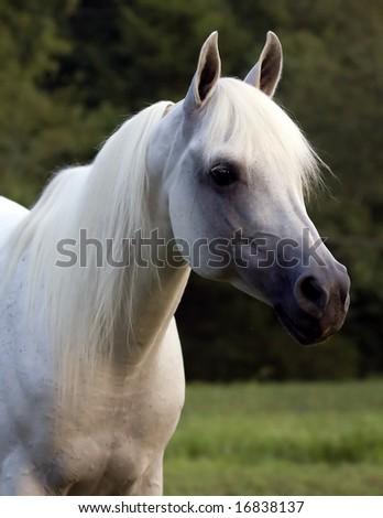 Head portrait of Arabian horse