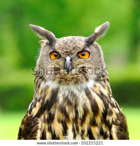 stock-photo-head-portrait-of-eagle-owl-bubo-bubo-102215221.jpg