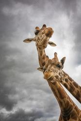 head Portrait of Giraffe couple