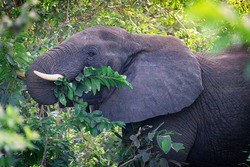 Head portrait of large herbivorous grey african bush elephant with big ears and white tusks peacefully eating green leaves with trunk from the trees at a sunny day in south africa savanna. Horizontal