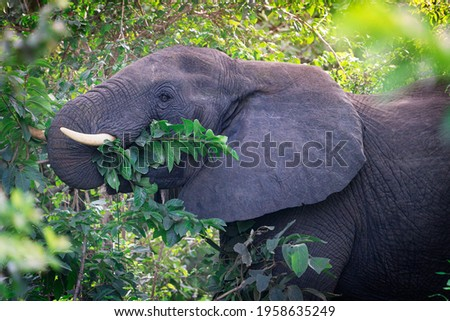 Head portrait of large herbivorous grey african bush elephant with big ears and white tusks peacefully eating green leaves with trunk from the trees at a sunny day in south africa savanna. Horizontal Stock foto ©