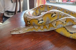 Head python yellow pattern on a table edge. Close up of snake skin texture use for background. Portrait of a Albino reticulated python snake.  Beautiful reptile. International Snake Day, July 16th.