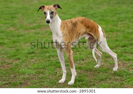 Head shot and profile of Whippet, a sighthound who is closely related to the Greyhound.