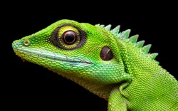 Head shot closeup of Green Crested Lizard