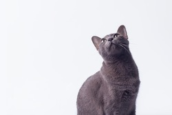 Head shot gray cat looking up isolated on white background.Korat cat