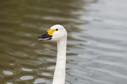 Head shot of a Bewicks swan (cygnus columbianus) in the water