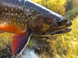 Head Shot of a Brightly Colored Brook Trout and its Pectoral Fin