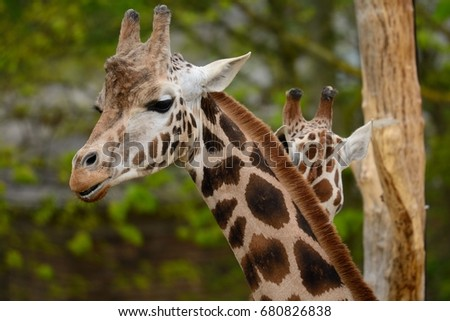 head shot of a giraffe  #680826838