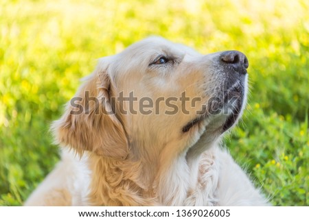 Head Shot of a Handsome White Golden Retriever with Green Yellow Background
