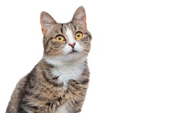 head shot of a mixed breed cat isolated on white