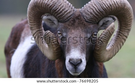 Head shot of a mouflon