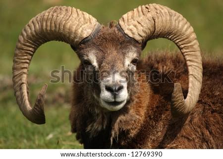Head shot of a  MOUFLON - wild sheep