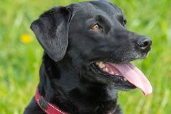 Head shot of a purebred black Labrador retriever