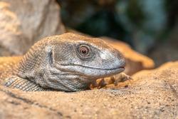 Head shot of a savannah monitor (varanus exanthematicus) in captivity