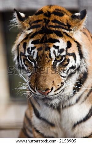 Head shot of a Sumatran Tiger staring downwards.