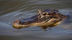 Head shot of an American alligator lying in quiet water