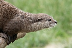 Head shot of an Asian small clawed otter (amblonyx cinerea) sitting on a log