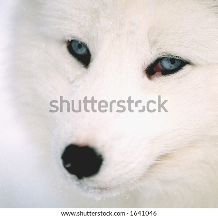 head shot of arctic fox in winter (captive rehabilitation)