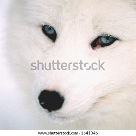Stock Photo head shot of arctic fox in winter (captive rehabilitation)