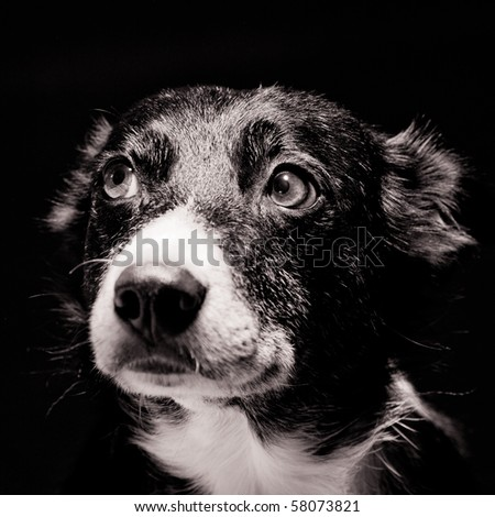 Head shot of Border Collie on Black Background