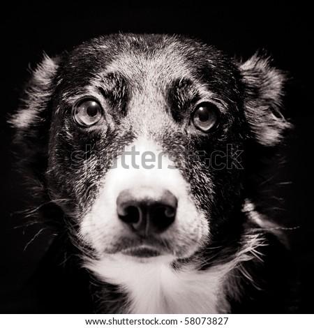 Head shot of Border Collie on Black Background