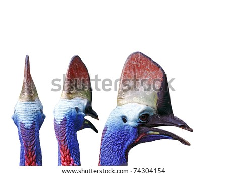Head shot of Cassowary bird of the genus Casuarius showing the colorful punky neck and the horn-like crest isolated against white background.