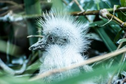 Head shot of close up  very young  tiny wild Cattle Egret chicks in nest, with fuzz  and pin feathers growing, selective focus, Save Birds, Save Environment concept.