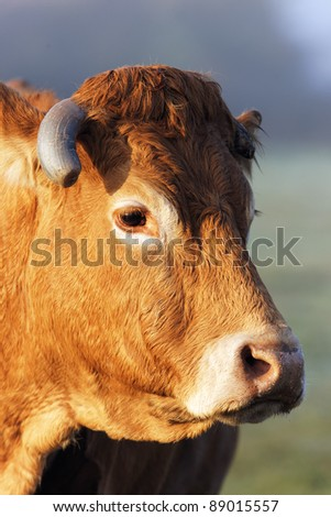 head shot of cow in morning light