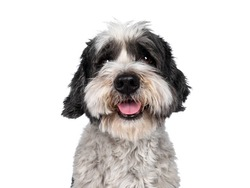 Head shot of cute little mixed breed Boomer dog, sitting up facing front. Looking straight to camera with friendly brown eyes. Isolated on white background. Mouth slightly open, showing tongue,
